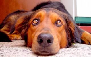 От чего молочница у собак